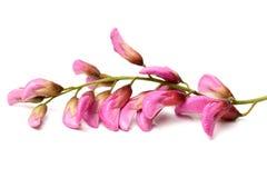 Rose acacia Stock Images