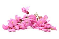Rose acacia Royalty Free Stock Image