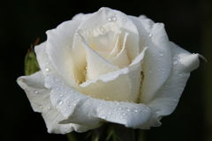 A rose af drizzling. A delicate rose with traceses of drizzling royalty free stock images