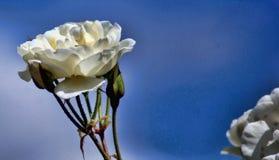 Rose Against The Blue Sky blanche Photo libre de droits