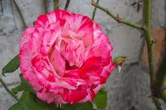 Rose Against Gray Garden Wall bicolor cor-de-rosa e branca brilhante imagens de stock royalty free