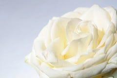 Rose against white Background Royalty Free Stock Image