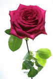 Rose against white Background Stock Photography