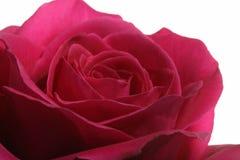 Rose against white Background Stock Photo