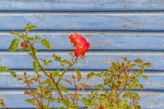 Rose Against Wooden Wall rouge images libres de droits
