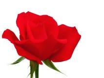 Rose aisló en el fondo blanco Imágenes de archivo libres de regalías
