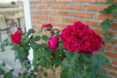 Rose al aire libre en un café Imagenes de archivo