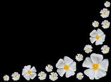 Rose Alba -White Roses Isolated on Black. Rose Alba - Bunch of Closeup on Beautiful White Roses Isolated on Black Background Royalty Free Stock Photo