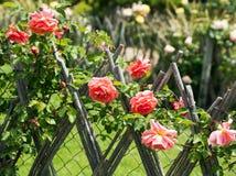 Rose Alley Lizenzfreies Stockfoto