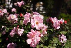 Rose Alley Lizenzfreie Stockbilder