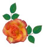 Rose alpestre 01 Photo libre de droits