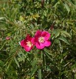 Rose alpine Image libre de droits