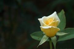 Rose amarilla Imagen de archivo libre de regalías