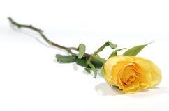 Rose amarilla Foto de archivo libre de regalías
