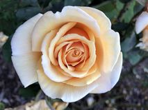 Rose amarilla en Rose Garden Fotos de archivo libres de regalías