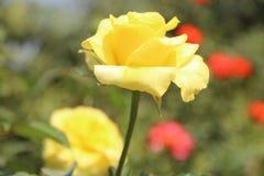 Rose amarilla fresca en jardín Foto de archivo libre de regalías