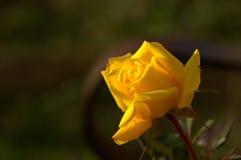 Rose amarilla que brilla intensamente Imagenes de archivo