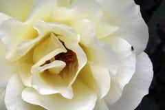 Rose amola el fondo imagenes de archivo