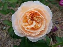 Rose anaranjada Imágenes de archivo libres de regalías