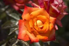 Rose anaranjada Fotografía de archivo