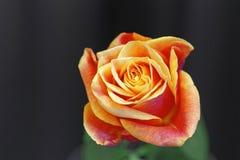 Rose anaranjada Fotos de archivo