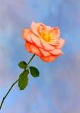 Rose anaranjada en azul fotografía de archivo