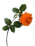 Rose anaranjada en blanco fotografía de archivo libre de regalías