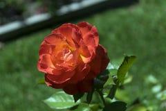 Rose anaranjada roja hermosa en la plena floración Imagen de archivo