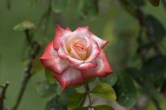 Rose anaranjada y blanca en la plena floración Imagen de archivo libre de regalías