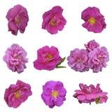 Rose, anca, o germoglio di fiore selvaggia Immagine Stock