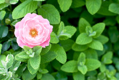 Free Rose And Apple Mint Stock Photo - 23734410
