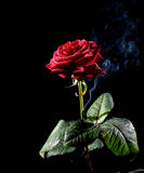 Rose And Smoke Royalty Free Stock Images