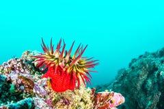 Rose Anemone sur le récif de la Californie photographie stock