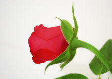 Rose angle view Royalty Free Stock Images