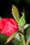 Rose Aphids infestation royalty free stock images