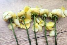Rose appassite Rose gialle su fondo bianco ROSE DI DAVID AUSTIN fotografia stock