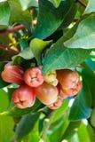 Rose-apple Στοκ φωτογραφίες με δικαίωμα ελεύθερης χρήσης