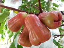 Rose Apple lizenzfreies stockbild