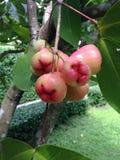 Rose Apple Lizenzfreies Stockbild