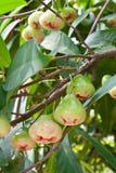 Rose Apple auf Baum Lizenzfreie Stockfotos
