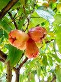 Rose Apple fesh auf dem Baum Während frischer Regen Stockfotografie