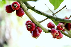 Rose apple. Fresh rose apple on the tree, ready to be picked Stock Images