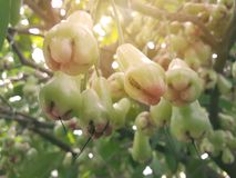 Rose apple fruit that is grown stock image