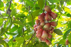 Rose Apple with the leaf. Under sun light Royalty Free Stock Images