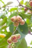 Rose Apple sur l'arbre Images stock
