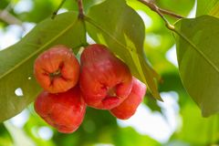 Rose Apple Thai people called chomphu on tree in the garden th Stock Photography
