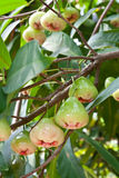 Rose Apple on  Tree Royalty Free Stock Photos