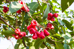 Rose apple tree Stock Images