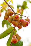 Rose apple on tree in garden Royalty Free Stock Photo