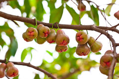 Rose apple on tree in garden Stock Photos